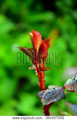 Rose S Leaves. Nice Flower In Early Spring. The First Flowers Appear In Spring Season