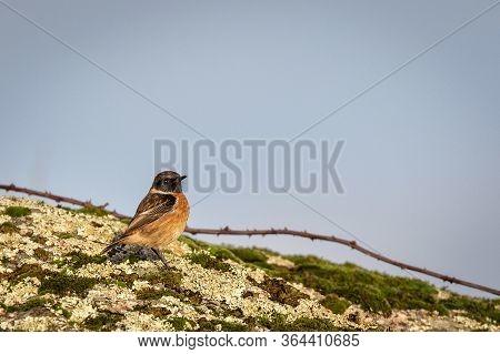European Stonechat (saxicola Rubicola). Bird In Its Natural Environment.