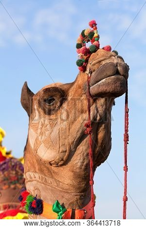 Beautiful Decorated Camel On Bikaner Camel Festival In Rajasthan, India. The Camel Festival Begins W