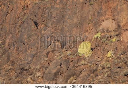 Cliff With Shrubs Of Canary Island Spurge.