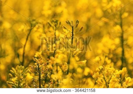 Beautiful Blossoming Oilseed Rape Field. Brassica Napus In Bloom. Selective Focus.
