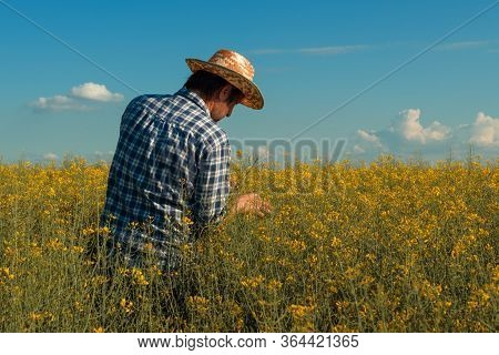 Canola Rapeseed Farmer Looking Over Cultivated Field In Bloom, Agronomist Standing In Blossoming Oil