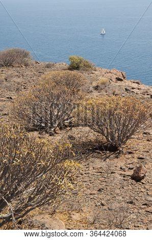 Xerophytic Scrub Of Balsam Spurge, Euphorbia Balsamifera And Sailing Boat.