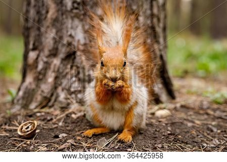 Red Squirrel Nibbles A Nut In A Pine Forest. An Animal In A Natural Habitat.