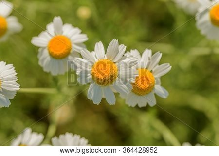 Bloom. Chamomile. Blooming Chamomile Field, Chamomile Flowers On  Meadow In Summer, Selective Focus,