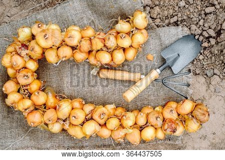 A Bunch Of Onion Bulbs With Shovel On It And Carried Out For Planting , Cleaned And Prepared Onion B