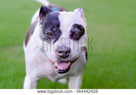 Dogo Argentino breed of dog, running towards camera action shot, happy healthy smiling.