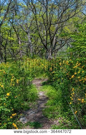 Path Through Field Of Yellow Flowers With Tall Leafless Tree In Distance.