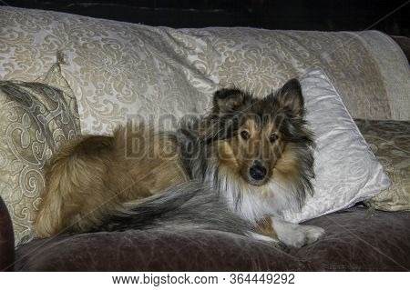 Beautifully Well Groomed Spoilt Rough Coated Black And Sable Female Collie Sleeping On The Couch In
