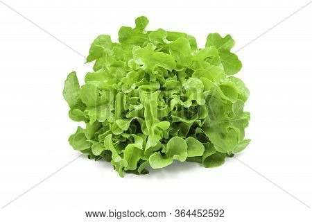Raw Organic Green Oak Lettuce On White Isolated Background With Clipping Path. Fresh Green Oak Lettu