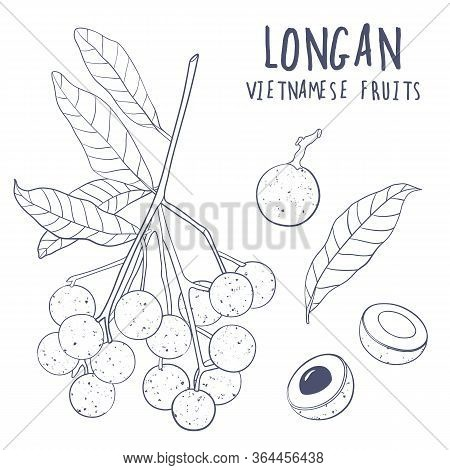 Longan Vector Set. Hand Drawn Tropical Vietnamese Fruit Illustration. Branch, Whole And Sliced Objec