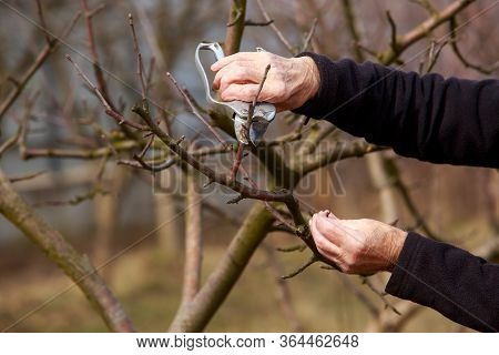 Pruning Trees In The Spring With A Garden Pruner