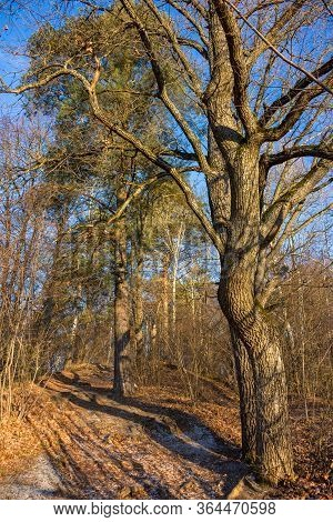 Beautiful Slope In The Forest With Sprawling Oak