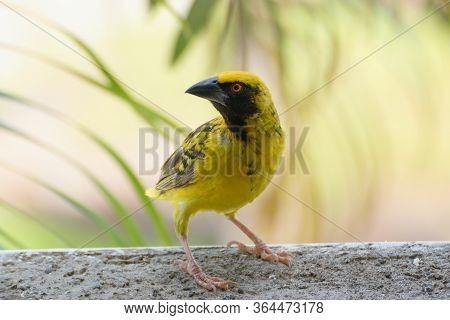 Southern Masked Weaver Bird Male , Mauritius Island