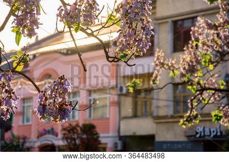 Uzhhorod, Ukraine - May 01, 2018: Paulownia Tomentosa Tree In Blossom Close Up, Located On Koriatovy