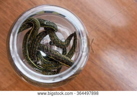 Medical Leeches Therapy. Hirudo Medicinalis In A Container With Water.