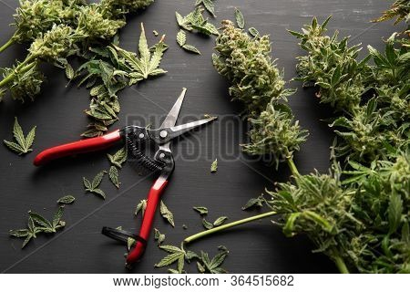 The Sugar Leaves On Buds. Growers Trim Their Pot Buds Before Drying. Trim Before Drying.