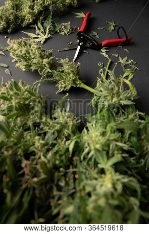 Harvest Weed Time Has Come. Mans Hands Trimming Marijuana Bud. Growers Trim Cannabis Buds.