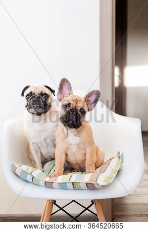 Happy Pets Pug Dog And French Bulldog Sitting On A Chair Looking At The Camera. Dogs Are Waiting For