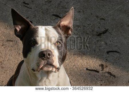 American Staffordshire Terrier. Black And White Amstaff Dog Portrait.
