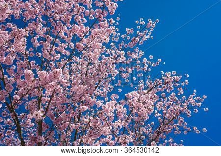 Pink cherry blossom, Flowers on sakura tree in springtime on blue sky background