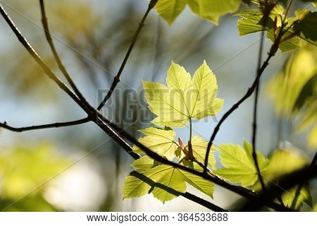 Maple leaves spring forest sunset Nature background Nature background foliage twig branch trees Nature background. Nature background Fresh green spring leaves Nature color Nature background Fresh yellow leaf outdoor Nature background Nature background.