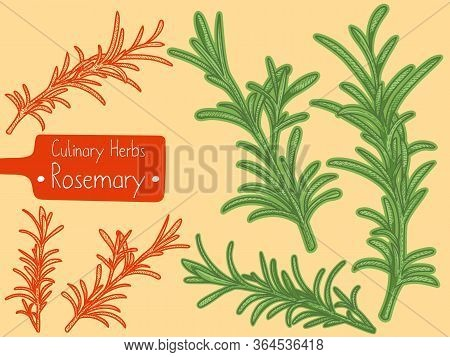 Branches Of Medicine And Culinary Herb Rosemary, Hand-draw Sketch Illustration