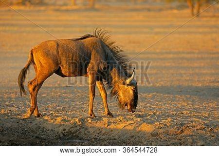 Blue wildebeest (Connochaetes taurinus) in the arid Kalahari desert, South Africa