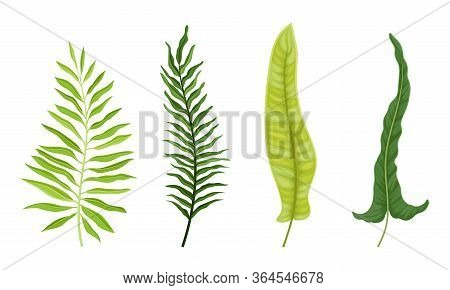 Fern Fibrous Fronds With Pointed Leaves Isolated On White Background Vector Set