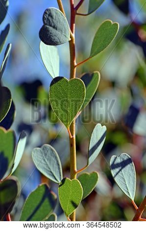 Heart Shaped Leaves Of The Heart-leaf Mallee, Eucalyptus Websteriana, Family Myrtaceae. Endemic To W