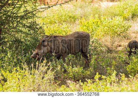Warthog In The Savannah Of Samburu Park In Central Kenya