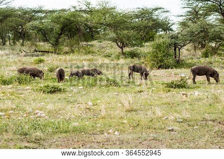 Group Of Warthogs Graze In The Savannah Of Samburu Park In Central Kenya In Africa