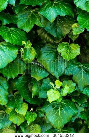 Detailed Green Background With Climbing Ivy.climbing Ivy.