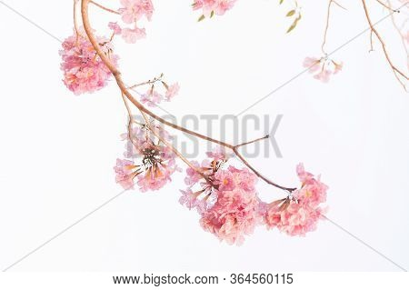 Close-up Of Tabebuia Rosea Pink Trumpet Flower Or