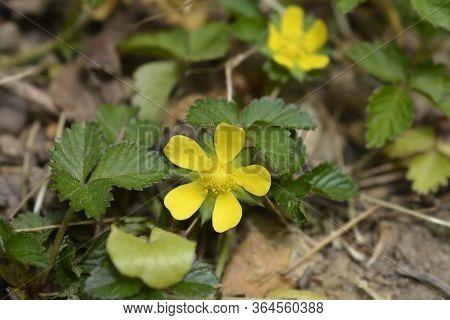 Indian Strawberry Flower - Latin Name - Duchesnea Indica (potentilla Indica)
