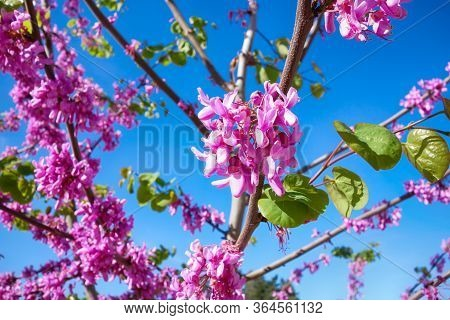 Spring Blossom. Pink Flowers On Eastern Redbud Tree (cercis Canadensis)