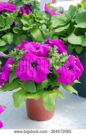 Petunia ,petunias In The Tray,petunia In The Potted, Purple Petunia