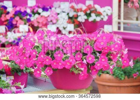 Petunia ,petunias In The Tray,petunia In The Pot, Pink Petunia