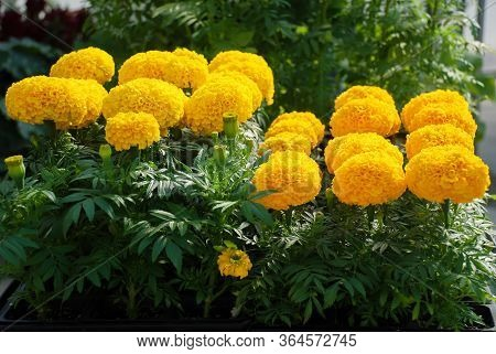 Marigolds Gold Color (tagetes Erecta, Mexican Marigold)