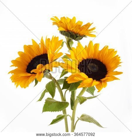 Sunflowers Isolated On White Background. Seasonal Nature Background.