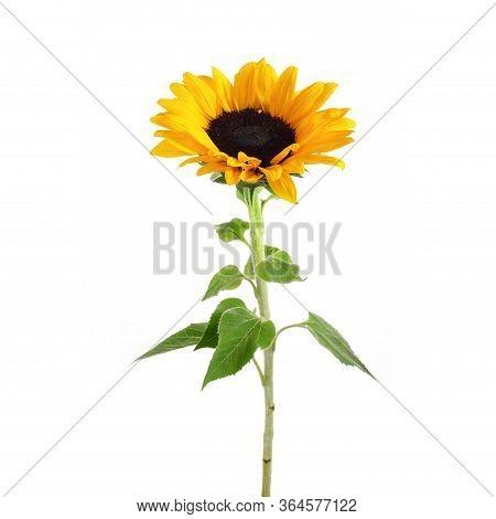 Sunflower Isolated On White Background. Seasonal Nature Background.