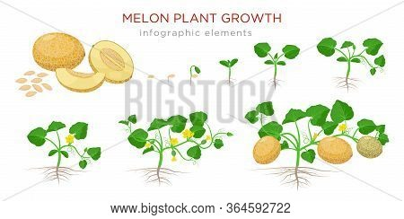 Melon Plant Growing Stages From Seeds, Seedling, Flowering, Fruiting To A Mature Plant With Ripe Mel