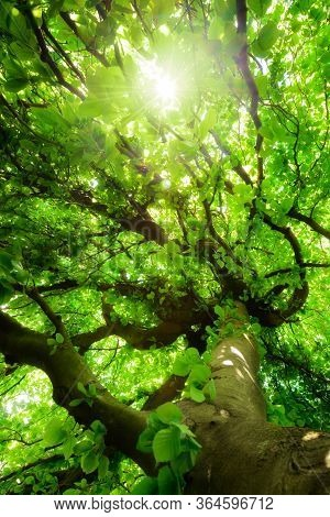 Worms Eye View Of A Green Beech Tree With Beautiful Crooked Branches, Vibrant Foliage And The Sun Sh