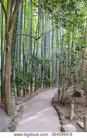 Footpath in bamboo garden, Hokokuji temple, Kamakura, Japan, Asia. Spring day