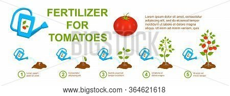 Watering Stages Tomato With Mineral And Organic Fertilizers From A Garden Watering Can. Big Ripe Red