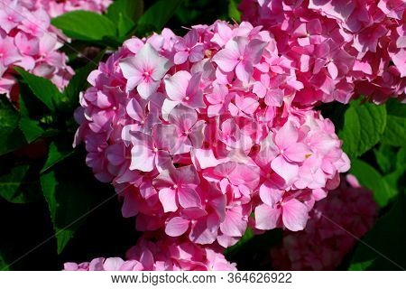Hydrangea: Beautiful flowers. Beauty in nature. Hydrangea macrophylla - Beautiful bush of of pink Hy