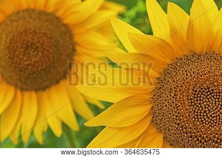 Close-up Sunflower Blooming On A Meadow. Sunflower Details. Natural Background