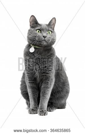 A Beautiful Funny Gray Cat In A Collar Is Sitting And Looking To The Side. The Background Is White,