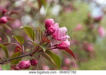 Crabapple Trees Blooming. Branches Of Blossoming Pink Tree Of Apple Or Sakura Close-up. Selective Fo