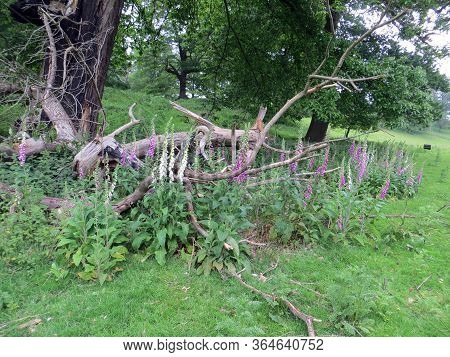 Old Dry Felled Tree And Digitalis Flowers On A Blur-in Background